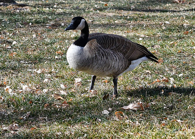 NEA_4331-7x5-Canadian Goose