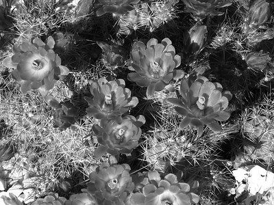 IMG_0659-Cactus-Flower-BW