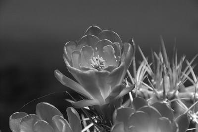 DSC_0034-Cactus-Flower-BW