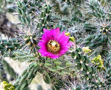 NEA_0481-Cactus Flower