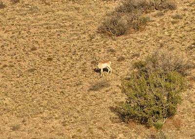 NEA_4831-7x5-Prong Horn Antelope