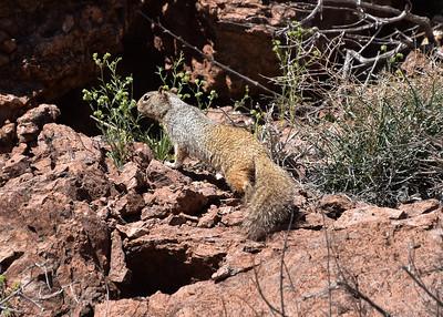 NEA_1027-7x5-Squirrel-Chupadera
