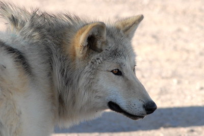Bosque del Apache 265 6x4 Forest-Timber Wolf
