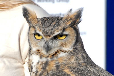 Bosque del Apache 320 6x4 Horned Owl
