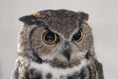 Bosque del Apache 328 6x4 Owl