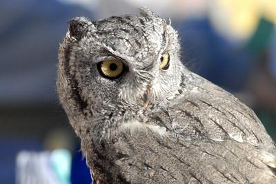 Bosque del Apache 272 6x4 Screech Owl