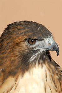 Bosque del Apache 267 4x6-Red Tail hawk