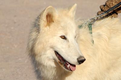 Bosque del Apache 266 6x4 Storm-Artic Wolf