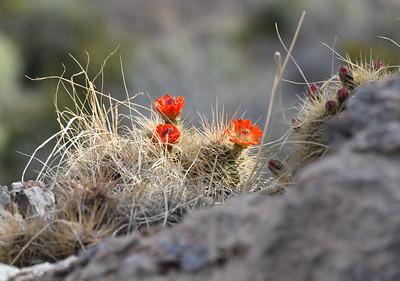 NEA_1623-Cactus Fowers