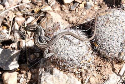 NEA_1643-Lizard Stuck to Cactus