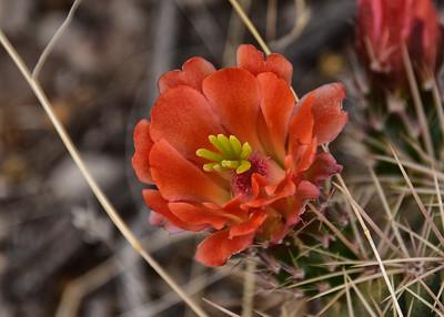 NEA_4076-7x5-Cactus Flower