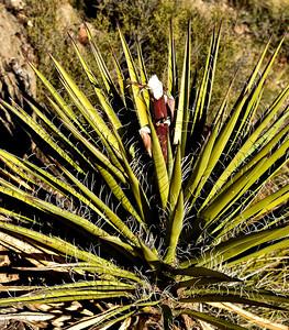 NEA_1156-Game eaten Yucca