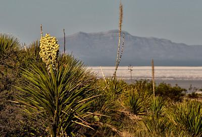 NEA_1161-Yucca Bloom