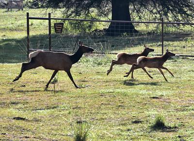 NEA_2267-Elk on the Run