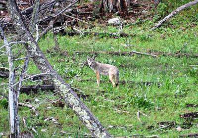 NEA_0138-Coyote