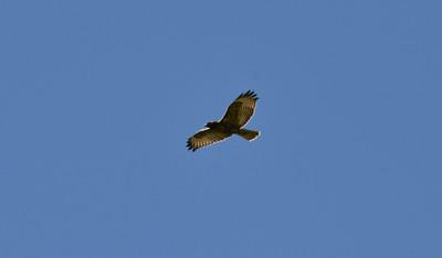 NEA_0419-Hawk