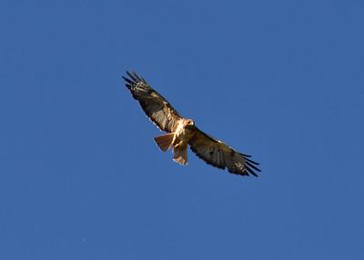 NEA_6453-7x5-Red Tail Hawk