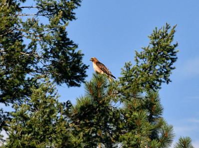 NEA_2282-Red Tail Hawk