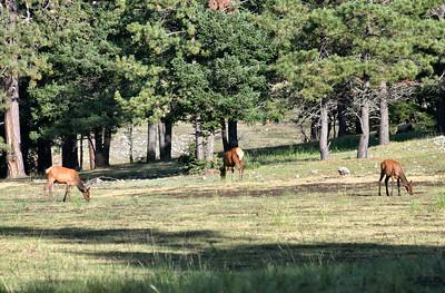 NEA_2270-Elk Grazing