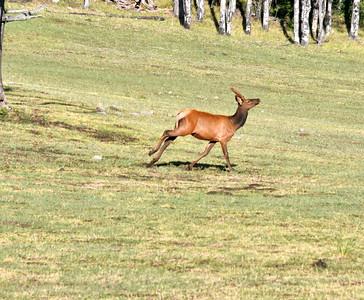 NEA_2275-Young Buck on the run