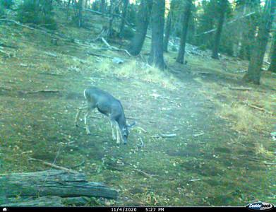 I__00035-Deer