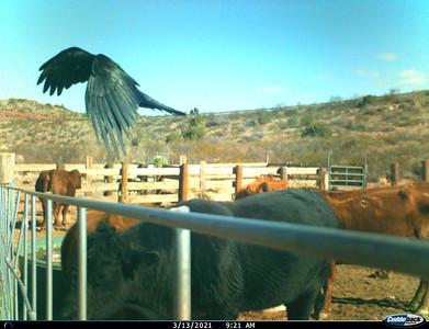 I__01348-Bird-Cows