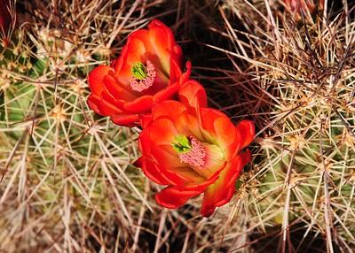 NEA_3501-7x5-Cactus Flower