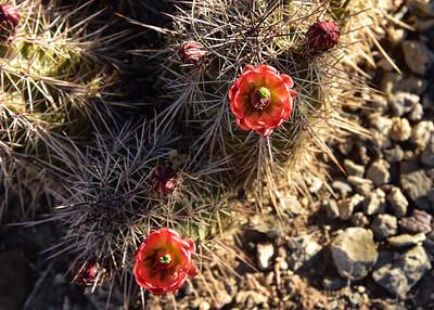 NEA_1059-7x5-Cactus Flower