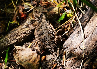 NEA_0094-7x5-Horned Toad