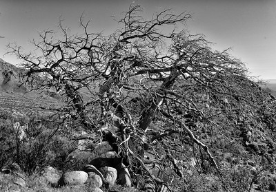 NEA_1233-Pine Tree Trail-BW Tree