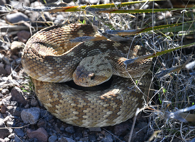 NEA_6800-Snake
