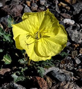 NEA_6804-Desert Flower