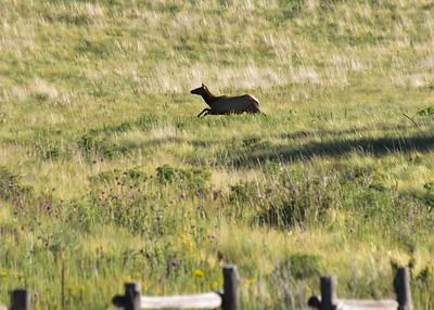 NEA_0379-7x5-Elk on the run