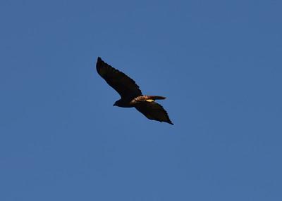 NEA_0390-7x5-Hawk
