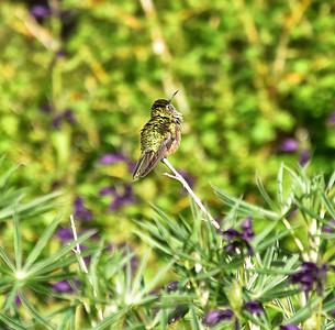 NEA_5492-Hummingbird