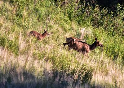 NEA_6052-7x5-Elk-and Calf