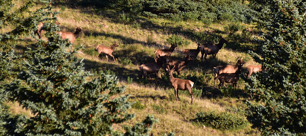 NEA_0283-Elk on the run