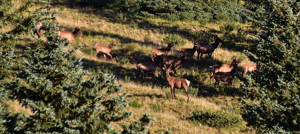 NEA_0283-Elk on the run