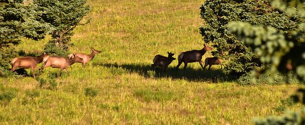 NEA_0279-Elk on the run