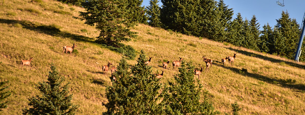 NEA_0286-Elk on the run
