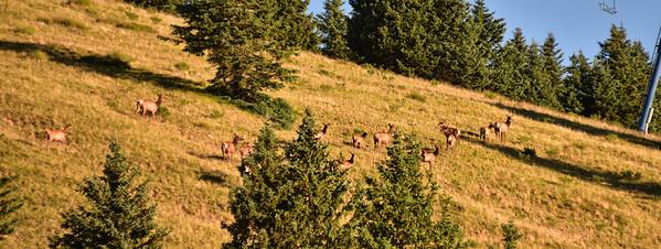 NEA_0286-Elk on the run