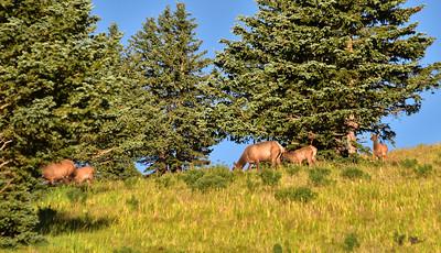 NEA_0253-Elk Sierra Blanca ski area