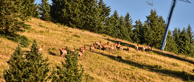 NEA_0295-Elk on the run