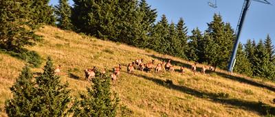 NEA_0295-Elk on the run