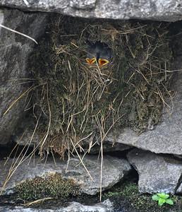 NEA_0330-Baby Birds