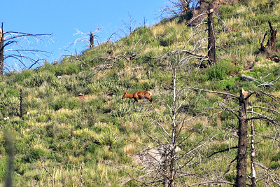 NEA_1271-Elk