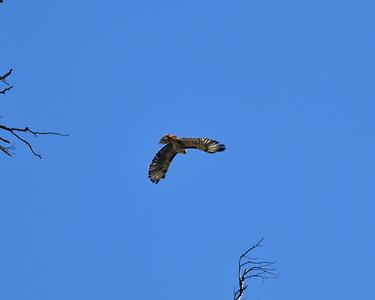 NEA_2316-Red tail Hawk