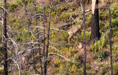 NEA_7113-Deer