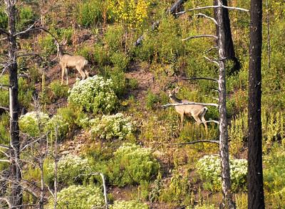 NEA_7120-Deer