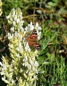 NEA_6121-Butterfly